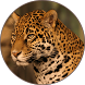 Jaguar Sounds by Chatree Bamrung