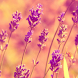 wallpaper lavender by motion interactive