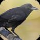 Kicau Burung Gagak by KicauApp