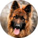 German Shepherd Wallpaper 2015 by AcrDev
