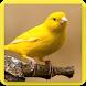 Rahasia Suara Burung Kenari Gacor Ngeroll Panjang by Nic and Chloe Studio