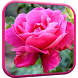 Pink Rose Video Live Wallpaper by Wallpapers Studio Pro