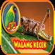 Belalang kecek Masteran Lovebird Jitu by Tahu Bulat App