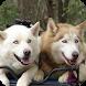 Siberian Husky Wallpaper by WallpapersLove