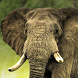 live elephant wallpaper by Dark cool wallpaper llc
