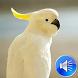 Cockatoo Bird Sounds Ringtones by msd developer multimedia