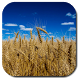 Wheat Field Live Wallpaper