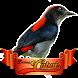 Kicau Master Burung Cabai by Ikhlas Apps