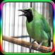Suara Burung Cucak Ijo by Pram App