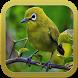 Burung Pleci Gacor