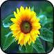 Top Sunflower Wallpapers by aifzcc.studio