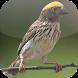 Kicau Burung Manyar by KicauApp