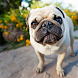 Pug Dogs Wallpapers by altothem