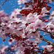 Cherry Blossom HD Snowfall Lwp by Arsh