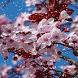 Cherry Blossom HD Snowfall Lwp by Arsh