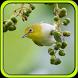 Suara Burung Pleci by Pram App
