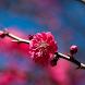 Sakura Flower HD Wallpaper by Portieri Ahmad