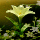 3d Lilly Live Wallpaper by Daksh Apps