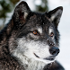 Wolves Live Wallpapers by luminous apps