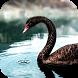 Black Swan Video Wallpaper by ComfyDj