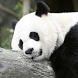 sleeping panda wallpaper by ashwin.gamedev
