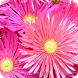 Aster Flowers Wallpaper by Dabster Software
