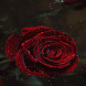 Dewy Red Rose LWP by Daksh Apps