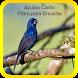Canto do pássaro Pomba Juriti by prastowo sukses