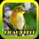 Kicau Pleci Terlengkap by ard app