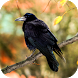 Crow Sounds by eBook Apps