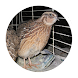 Quail breeding by Osiaz Inc.