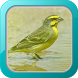 Kicau Burung Mozambik by Afnan Dev