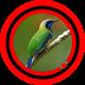 Suara Burung Cucak Cungkok by Omasuhu