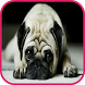 Pug Wallpaper by picture polly