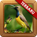 Suara Burung Sogok Ontong Baru by Kicau Studio