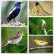 Top Suara Burung Offline by Songbird Apps