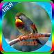 Kicau Master Burung Robin Mp3