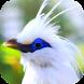 Kicau Burung Jalak Bali by KicauApp