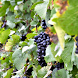 Vineyard Wallpapers