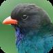 Kicau Burung Tengkek Buto by KicauApp