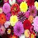 Dahlia Flowers Wallpaper by My Book