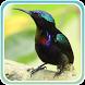 Kicau Kolibri Gacor Juara by Kicau Dev