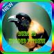 Masteran Burung Hooded Pitohui Mp3