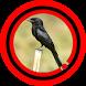 Suara Burung Srigunting by Omasuhu