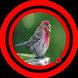 Suara Burung Pipit Terbaru by Omasuhu