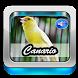 Canto Canario Belga by Ganiarto Media Digital
