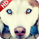 Husky Wallpaper by UniverseWallpapers