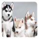 Husky Live Wallpaper by Pro Live Wallpapers
