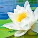 water lily live wallpaper by best wallpaper inc