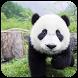 Giant Panda Jigsaw by JigsawWorld